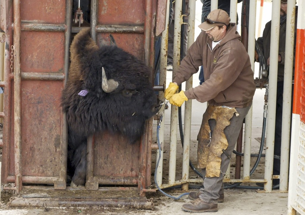 FILE - In this Nov. 1, 2018, file photo, a bison is locked in place while receiving vaccinations and health screenings following the annual roundup, o...