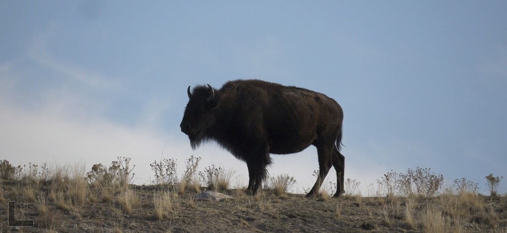 FILE - In this Nov. 10, 2018, file photo, a bison is released back on the island after receiving vaccinations and health screenings following the annu...
