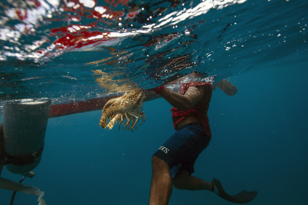 In this Sept. 9, 2018 photo, a diver holds onto his catch of lobsters during a fishing journey in the Miskito coast near Cay Savannah, Honduras. A div...