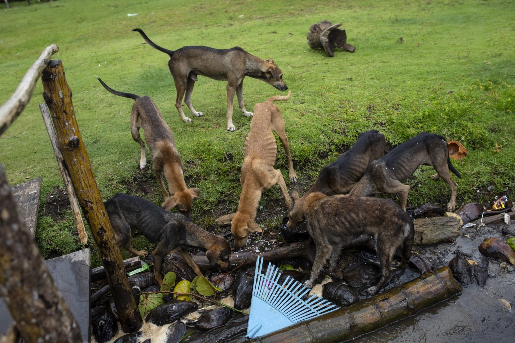 In this Sept. 2, 2018 photo, dogs eat scraps left by family and friends attending the funeral of Miskito diver Oscar Salomon Charly, in Cabo Gracias a...