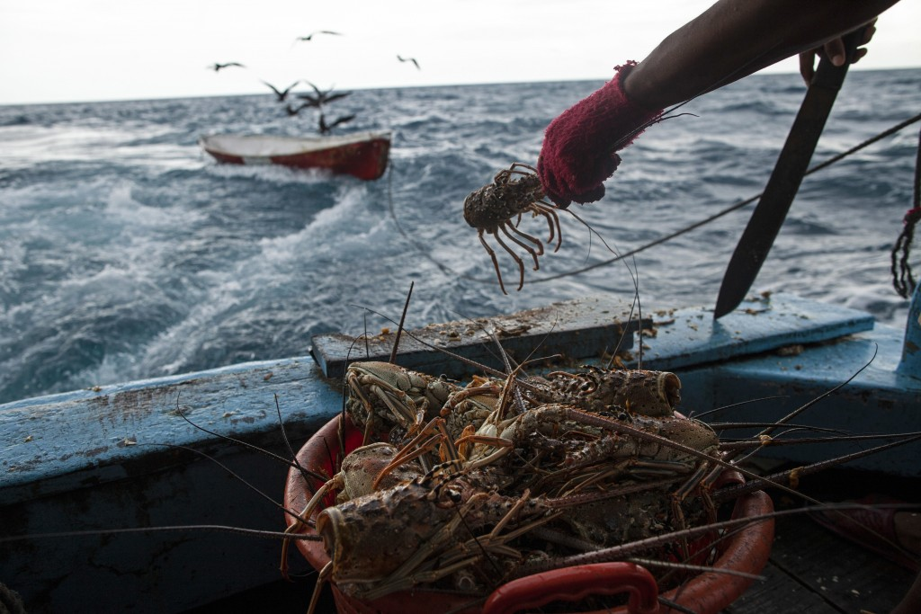 In this Sept. 9, 2018 photo, a worker cleans a batch of lobsters near Cay Savannah, Honduras. After the lobsters are cleaned they are stored in the sh