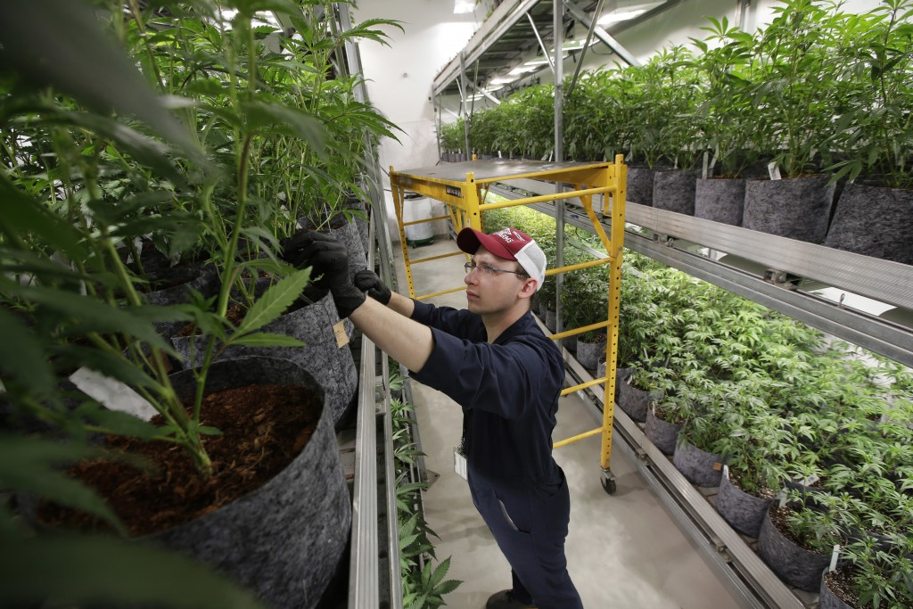 FILE - In this July 12, 2018, file photo head grower Mark Vlahos, of Milford, Mass., tends to cannabis plants, at Sira Naturals medical marijuana cult...