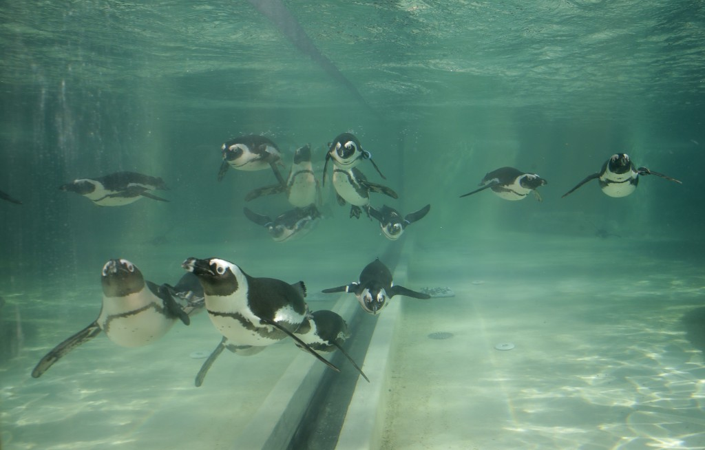 Jackass penguins swim in a pool during the presentation to journalists of this endangered specie at the Rome's zoo, Thursday, Dec. 27, 2018. (AP Photo...