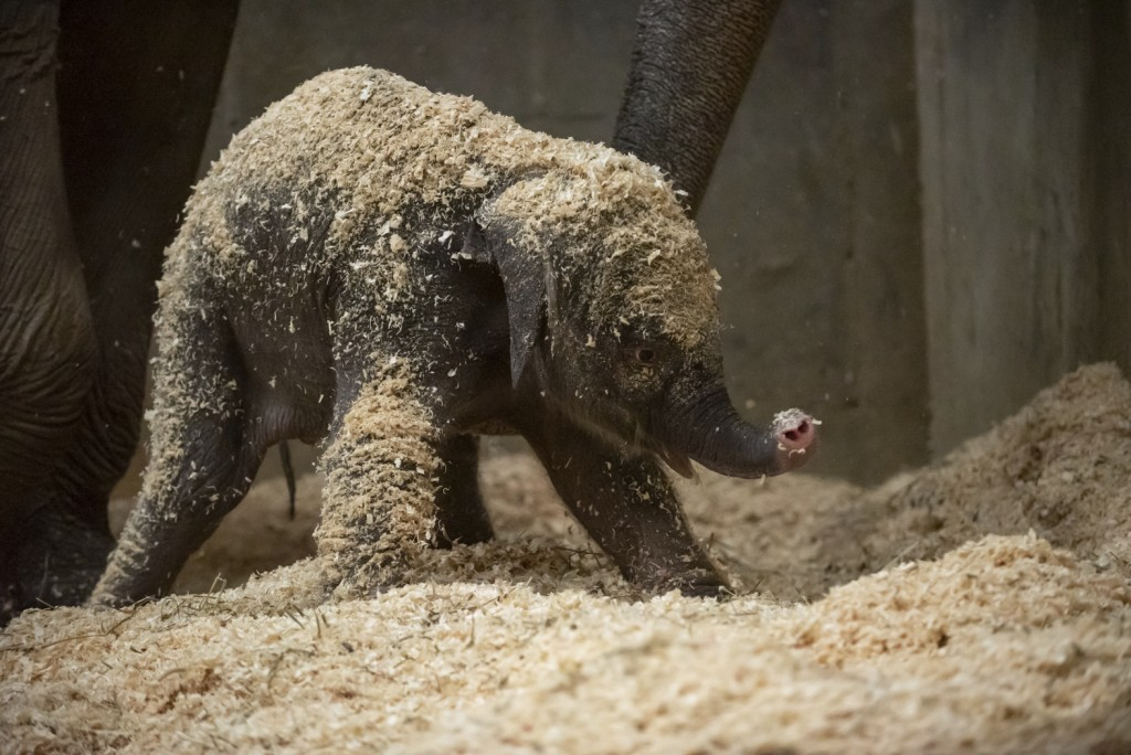 FILE - This undated file photo provided by Columbus Zoo and Aquarium shows an Asian baby elephant, born Thursday, Dec. 6, 2018, in Powell, Ohio. The C...
