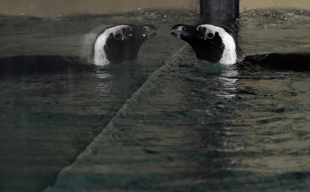 A jackass penguin is reflected on the glass of a pool during the presentation to journalists of this endangered specie at the Rome's zoo, Thursday, De...