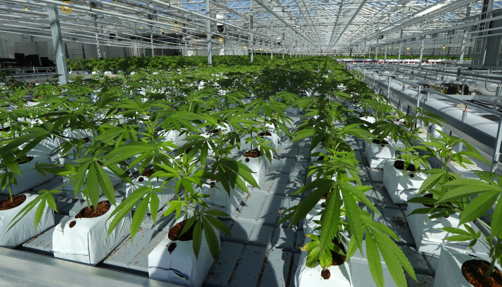 FILE - In this Sept. 25, 2018 file photo, marijuana plants grow in a tomato greenhouse being renovated to grow pot in Delta, British Columbia. The leg...