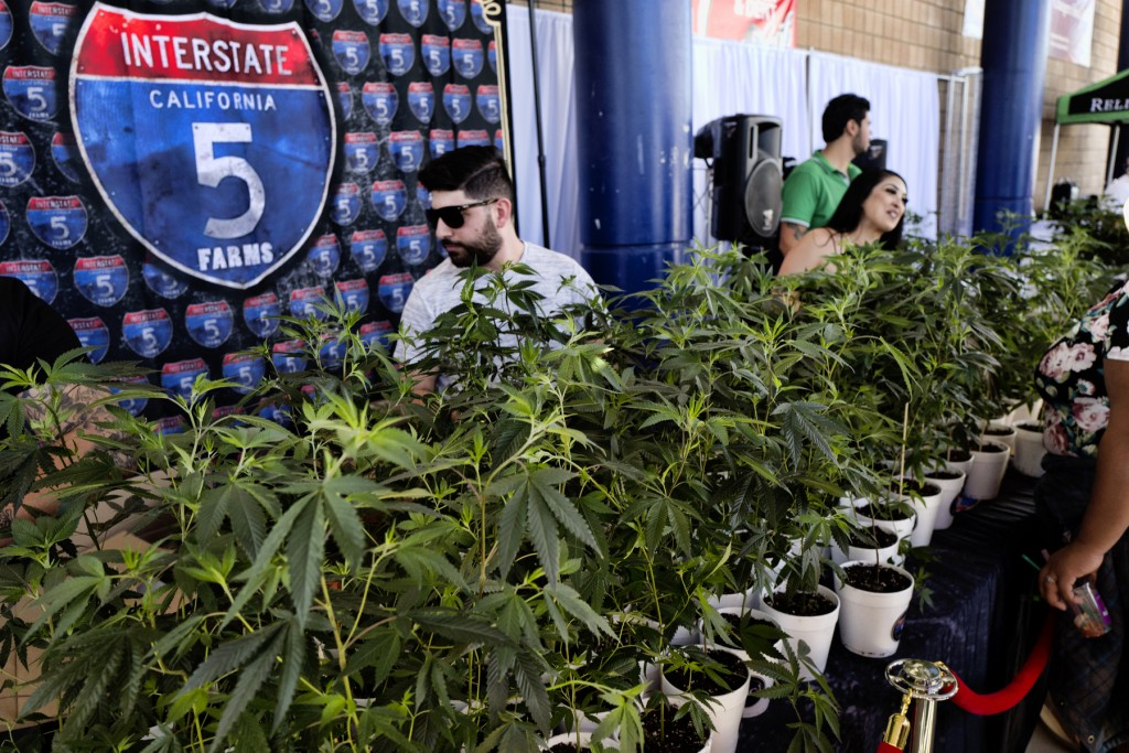 FILE - In this Oct. 20, 2018, file photo marijuana clone plants are displayed for sale by Interstate 5 Farms at the cannabis-themed Kushstock Festival...