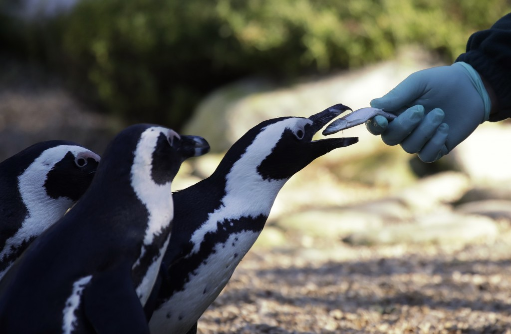Jackass penguins are fed with fish during the presentation to journalists of this endangered specie at the Rome's zoo, Thursday, Dec. 27, 2018. (AP Ph...