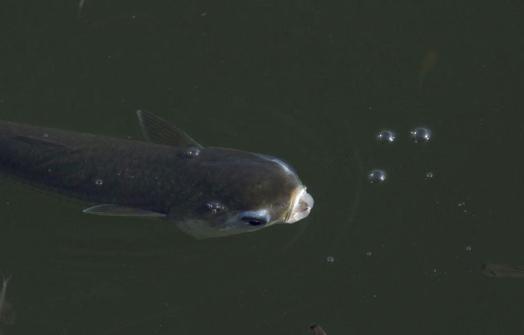 A fish struggles to breathe in the waters of the Rodrigo de Freitas lagoon in Rio de Janeiro, Brazil, Friday, Dec. 21, 2018. Biologists believe that t...