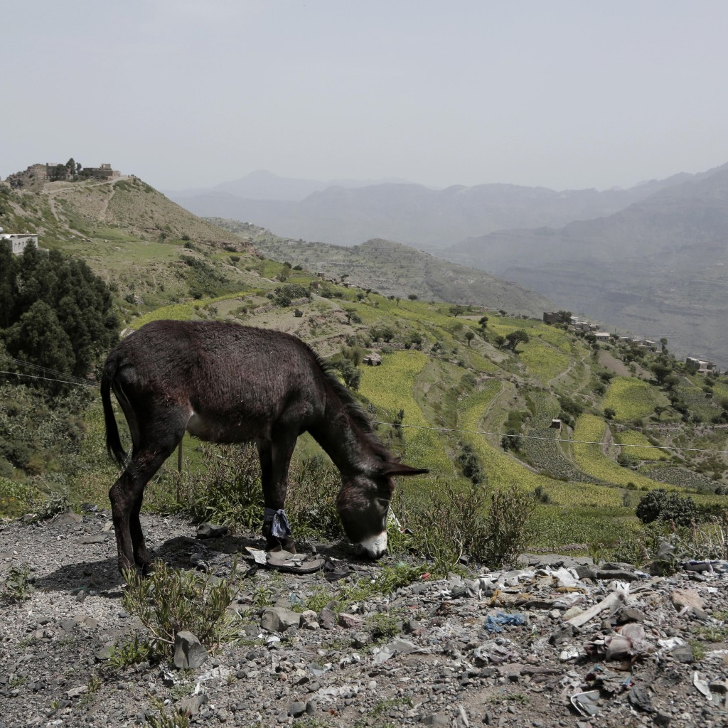 A donkey forages on the roadside in Ibb, Yemen, on Aug. 3, 2018. (AP Photo/Nariman El-Mofty)