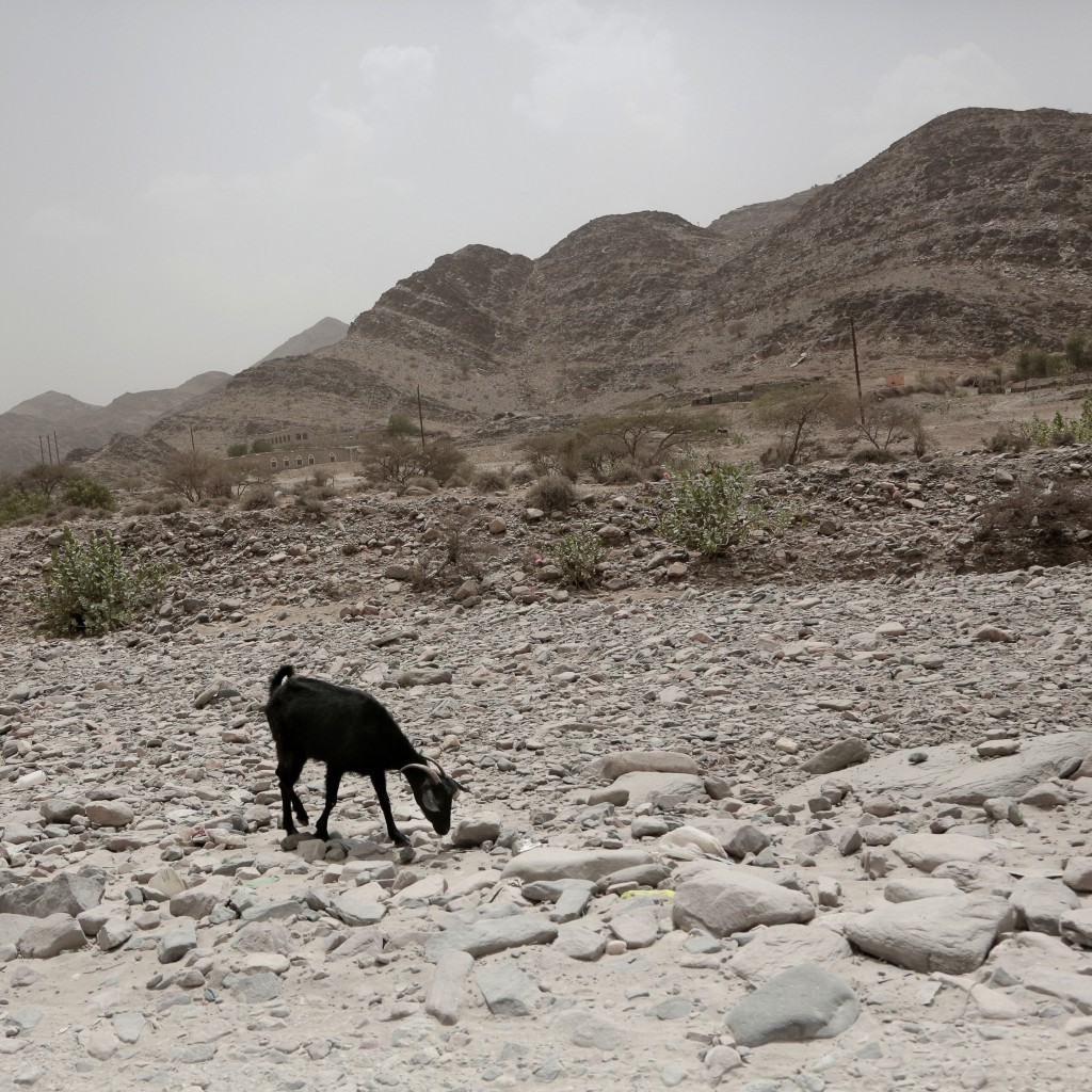 A goat forages on a highway in Bayda province, Yemen, on July 31, 2018. (AP Photo/Nariman El-Mofty)
