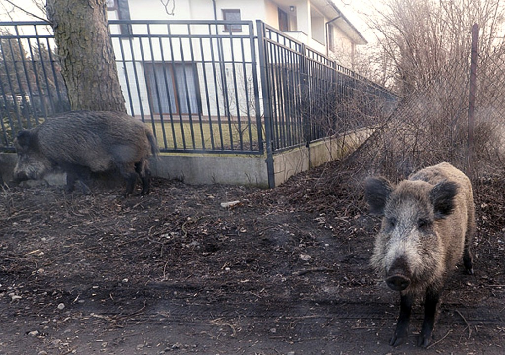 In this photo taken March 25, 2018, wild boar are seen roaming near houses in Lomianki county on Warsaw outskirts.Tens of thousands of Poles are prote