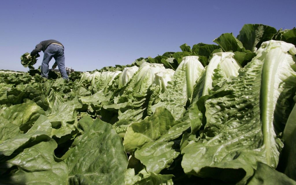 FILE - In this Aug. 16, 2007 file photo, a worker harvests romaine lettuce in Salinas, Calif. U.S. health officials are declaring an end to a food poi...