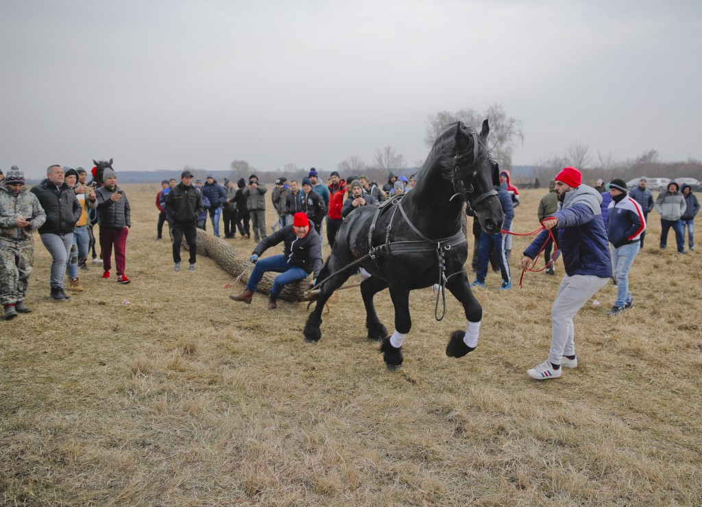 In this Sunday, Jan. 6, 2019, photograph a horse pulls a tree trunk in a strength competition during Epiphany celebrations in Pietrosani, Romania. (AP
