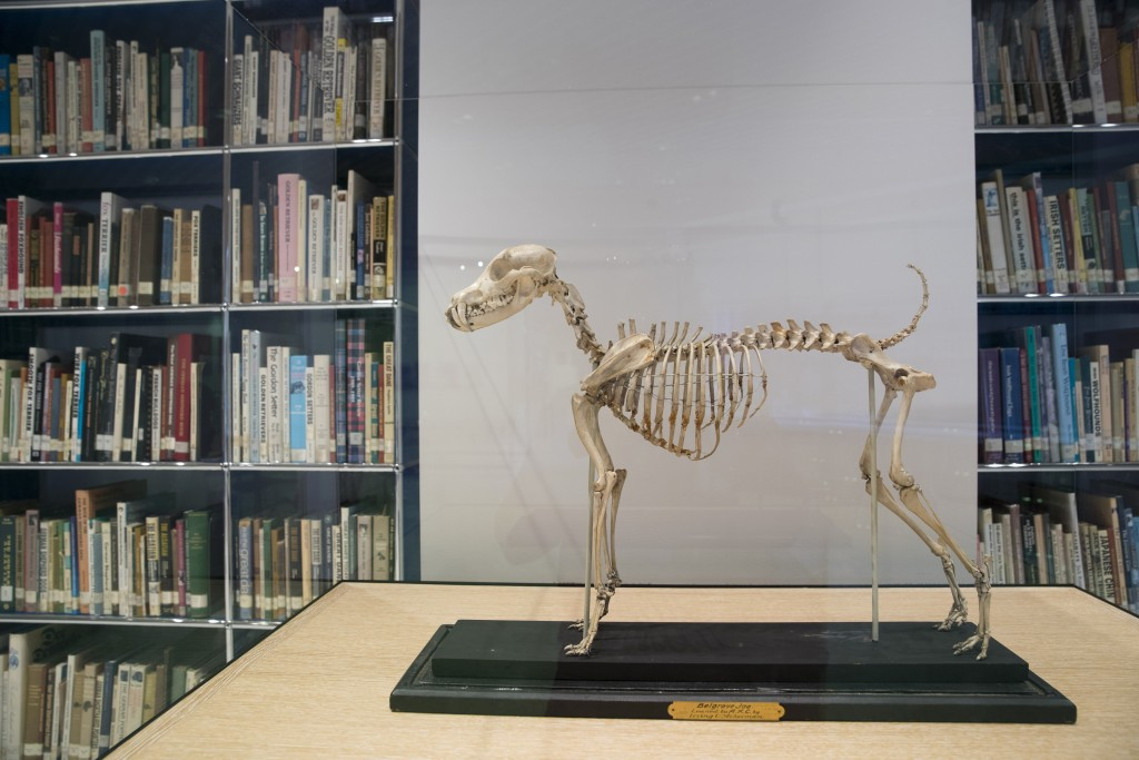 This Wednesday, Jan. 9, 2019, photo shows the skeleton of Belgrave Joe, the foundation sire of both fox terrier wire and smooth bloodlines, on display...
