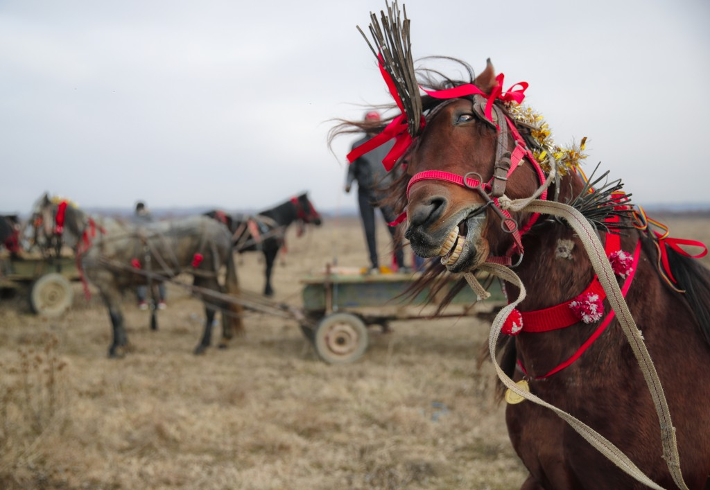 In this Sunday, Jan. 6, 2019, photograph a horse shakes his head during Epiphany celebrations in Pietrosani, Romania. The horse race tradition started