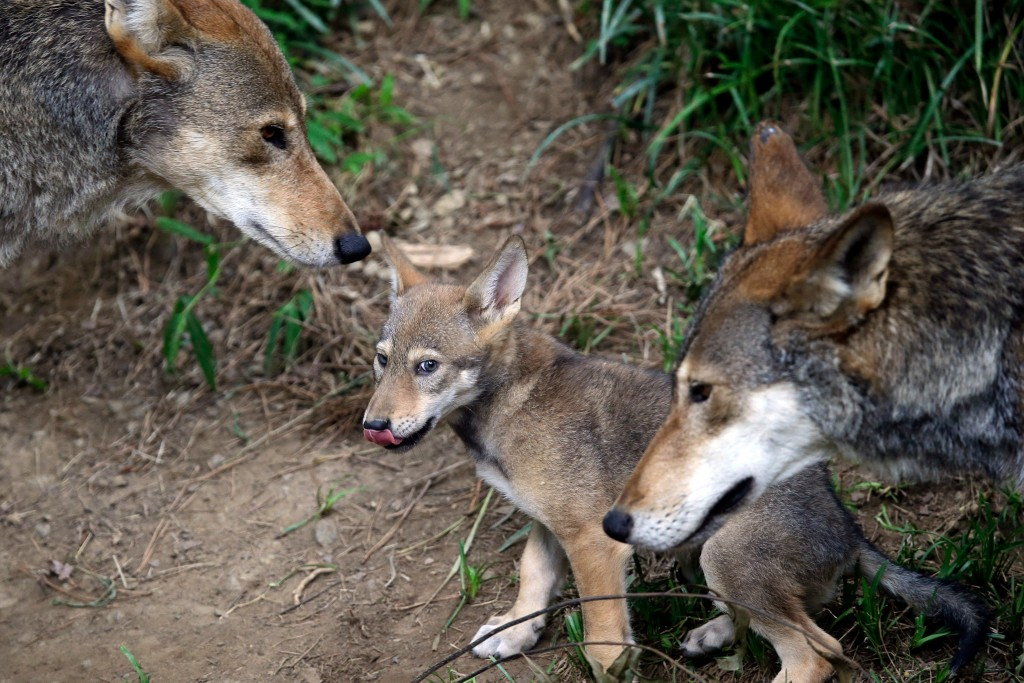 FILE - In this June 13, 2017, file photo, the parents of this 7-week old red wolf pup keep an eye on their offspring at the Museum of Life and Science