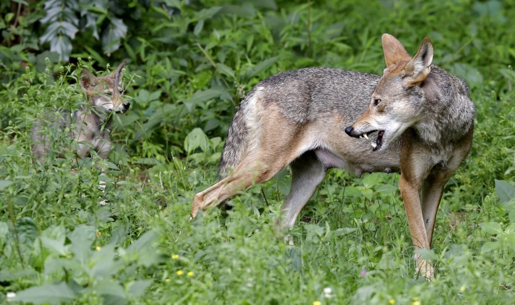 FILE - In this June 13, 2017 file photo, a red wolf female peers back at her 7-week old pup in their habitat at the Museum of Life and Science in Durh