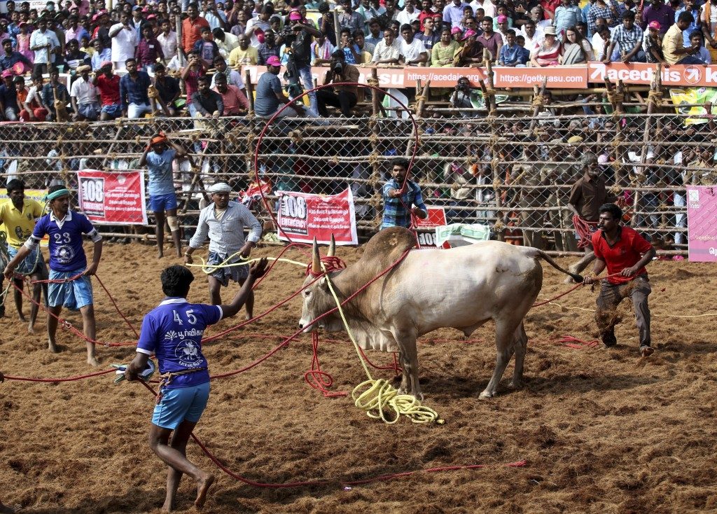 In this Wednesday, Jan. 16, 2019, photo, owners and others use ropes to control a bull during a traditional bull-taming festival called Jallikattu, in