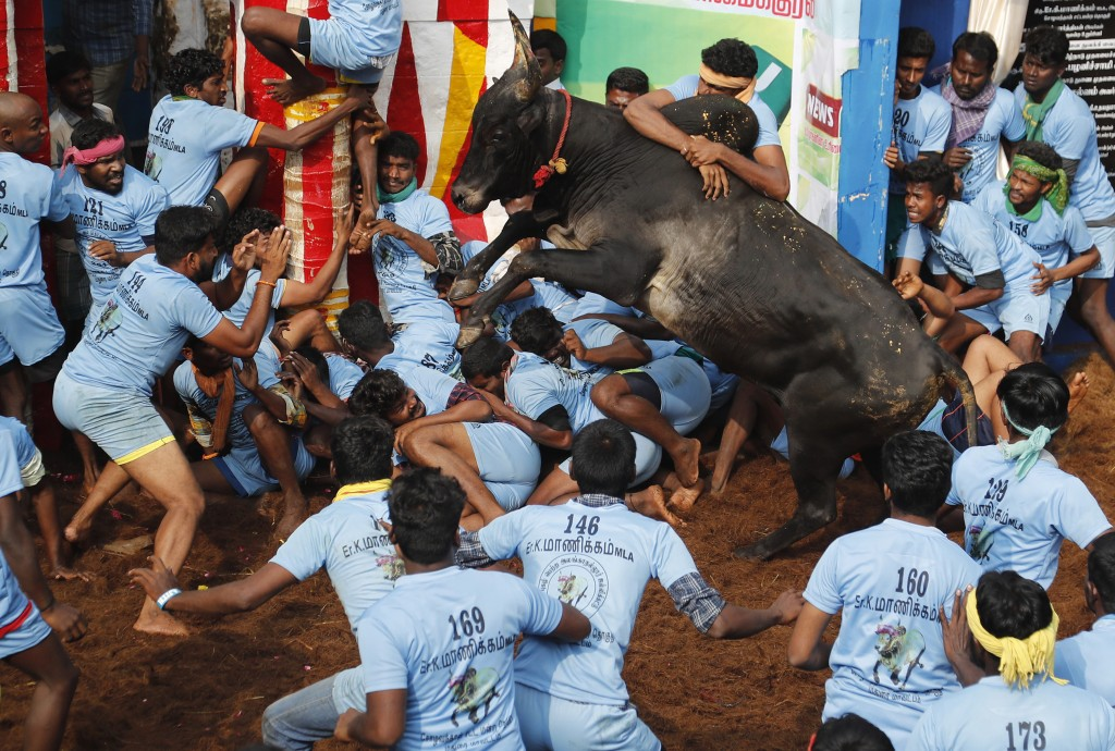 In this Thursday, Jan. 17, 2019, photo, Indian tamers react as a fellow tamer tries to control a charging bull during a traditional bull-taming festiv