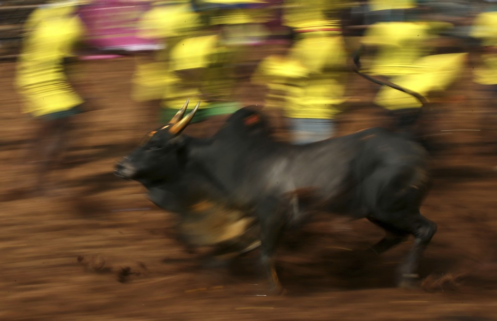 In this Wednesday, Jan. 16, 2019, photo, a bull runs away from tamers during a traditional bull-taming festival called Jallikattu, in the village of P