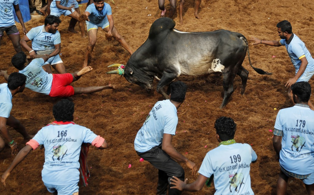 In this Thursday, Jan. 17, 2019, file photo, a bull charges towards tamers during a traditional bull-taming festival called Jallikattu, in the village