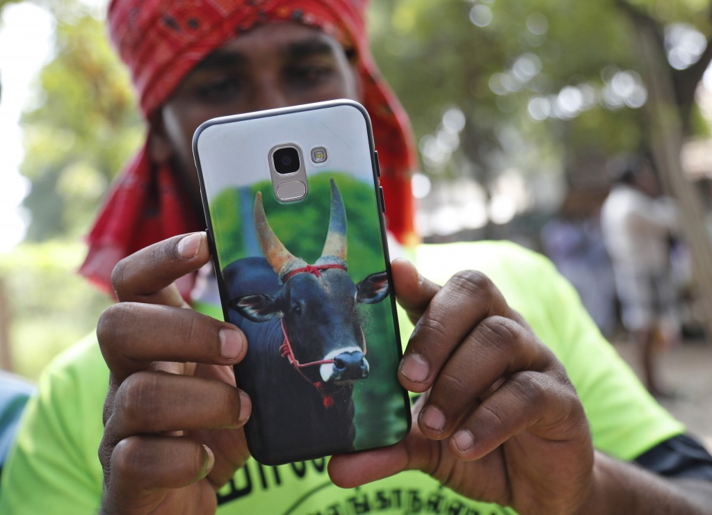 In this Thursday, Jan. 17, 2019, photo, a photo of a bull is displayed on the mobile phone of Indian tamer M. Jayakumar at a traditional bull-taming f