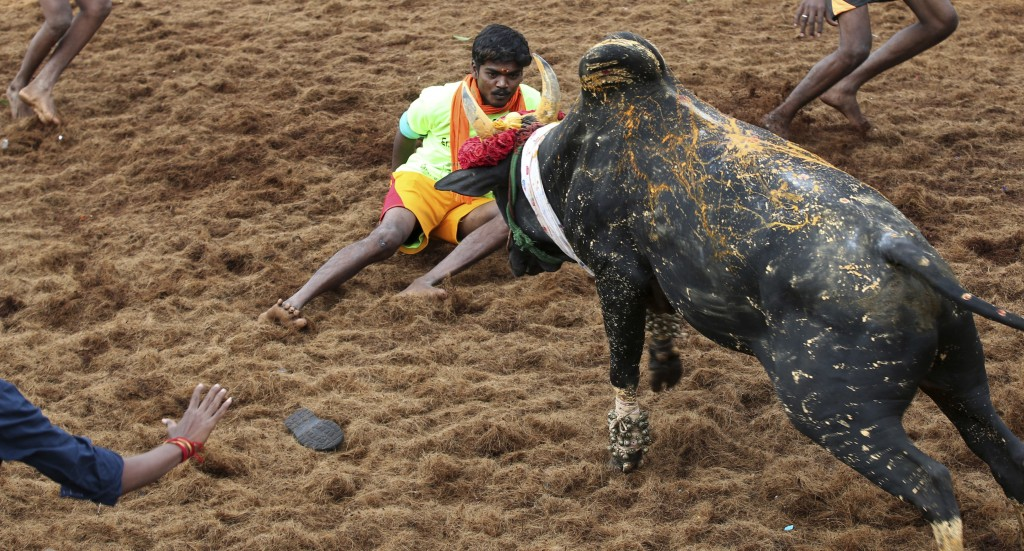 In this Wednesday, Jan. 16, 2019, photo, a bull charges towards a tamer during a traditional bull-taming festival called Jallikattu, in the village of