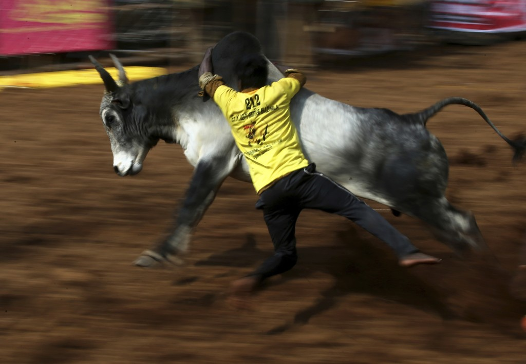 In this Wednesday, Jan. 16, 2019, photo, an Indian tamer tries to control a bull during a traditional bull-taming festival called Jallikattu, in the v