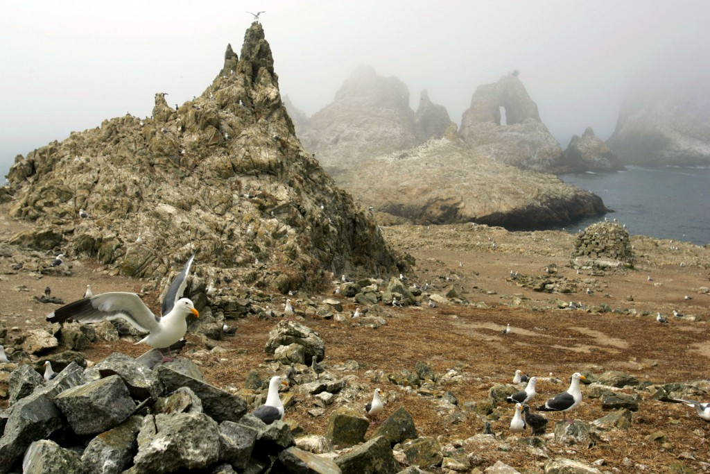 FILE - In this July 8, 2006, file photo, gulls are seen nesting near the North Landing area of the Farallon Islands National Refuge, Calif. Environmen...