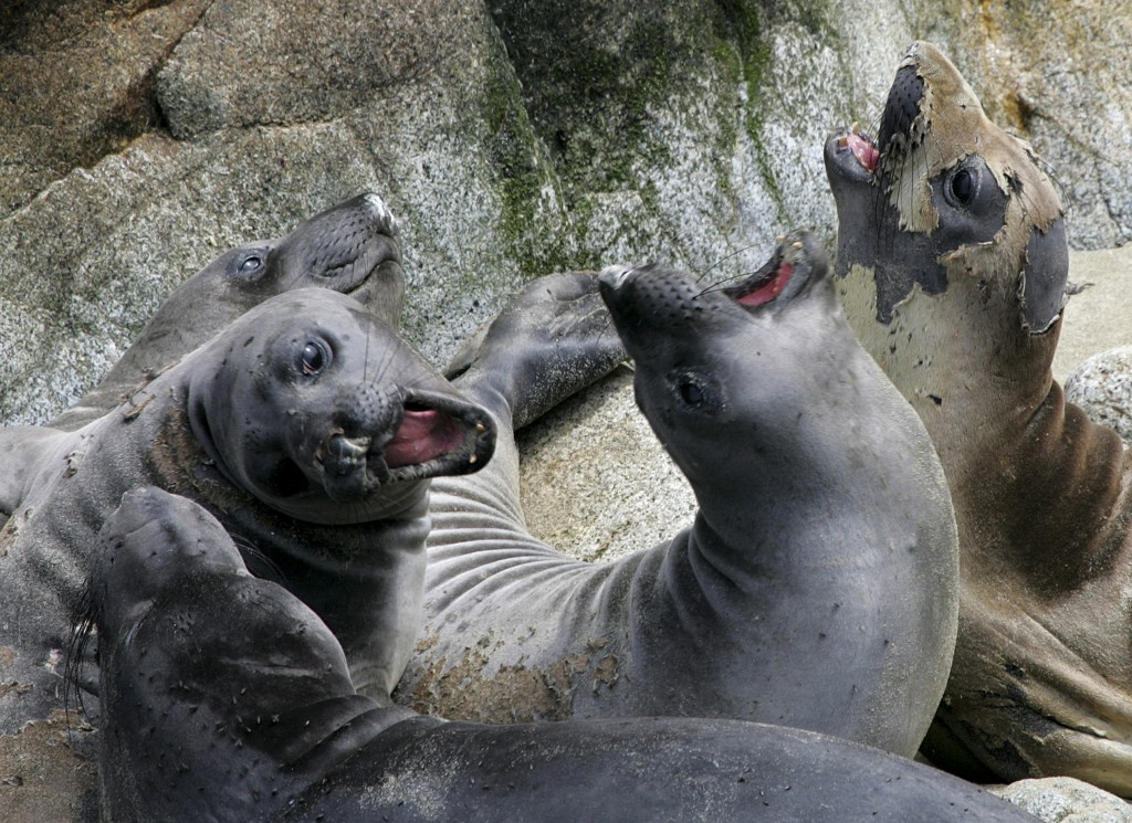 FILE - In this May 12, 2005, file photo, a herd of elephant seals lounge in a slumbering pile in a sandy cove on the Southeast Farallon Island at the ...