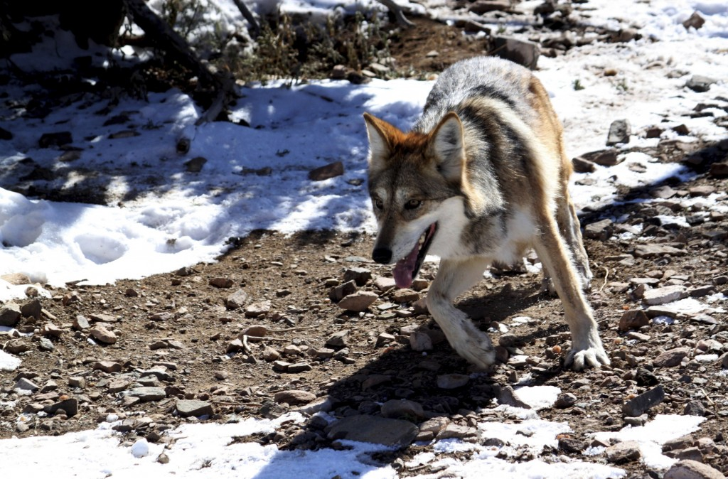 FILE - In this Dec. 7, 2011, file photo, a female Mexican gray wolf at the Sevilleta National Wildlife Refuge in central N.M. Environmental research p...
