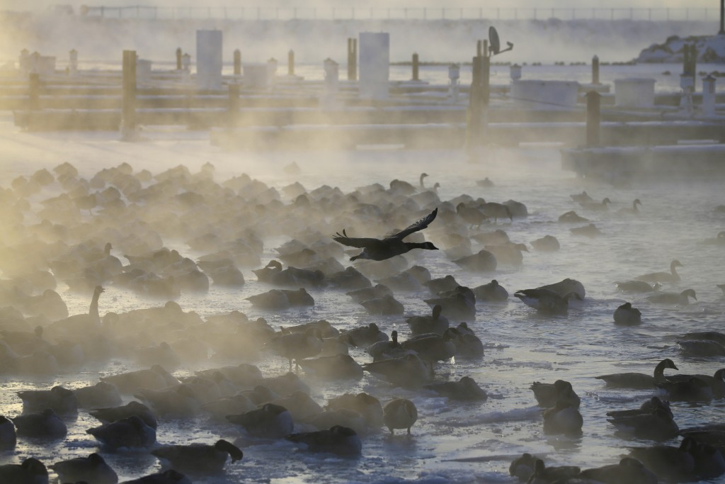 Geese huddle in the water while the sun rises at the harbor in Port Washington, Wis., on Wednesday, Jan. 30, 2019, as a deadly arctic deep freeze enve