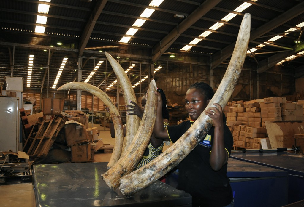 Customs officers display some of the seized elephant tusks to the media, in Kampala, Uganda Friday, Feb. 1, 2019. Ugandan authorities have seized 750 ...