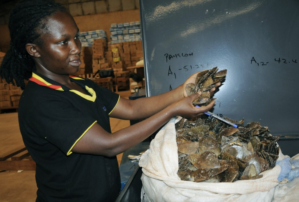 A Customs officer displays some of the seized pangolin scales to the media, in Kampala, Uganda Friday, Feb. 1, 2019. Ugandan authorities have seized 7...