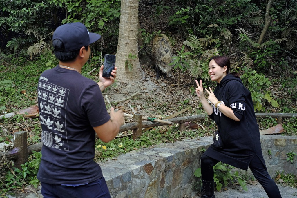 In this Jan. 13, 2019, photo, local residents take a photo in front of a wild boar at a Country Park in Hong Kong. Like many Asian communities, Hong K