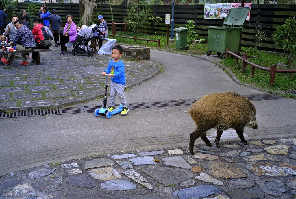 In this Jan. 13, 2019, photo, a wild boar scavenges for food while local residents watch at a Country Park in Hong Kong. Like many Asian communities,