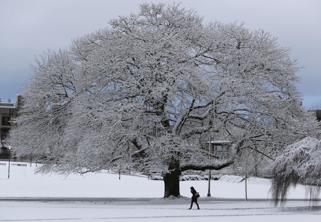 A pedestrian walks past a snow-encrusted tree on the Capitol campus in Olympia, Wash., Monday, Feb. 4, 2019, following an overnight snowfall. Most of