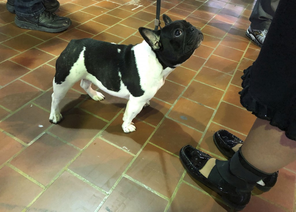 CORRECTS NAME TO YVORE FROM MILLIE - Yvore, a 10-month-old French bulldog, waits her turn to compete at the Westminster Kennel Club dog show on Monday...