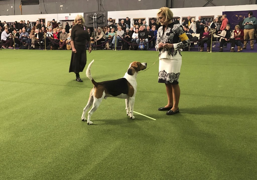 An English foxhound, the only one of its breed to compete, appears at the Westminster Kennel Club dog show on Monday, Feb. 11, 2019, in New York.  (AP
