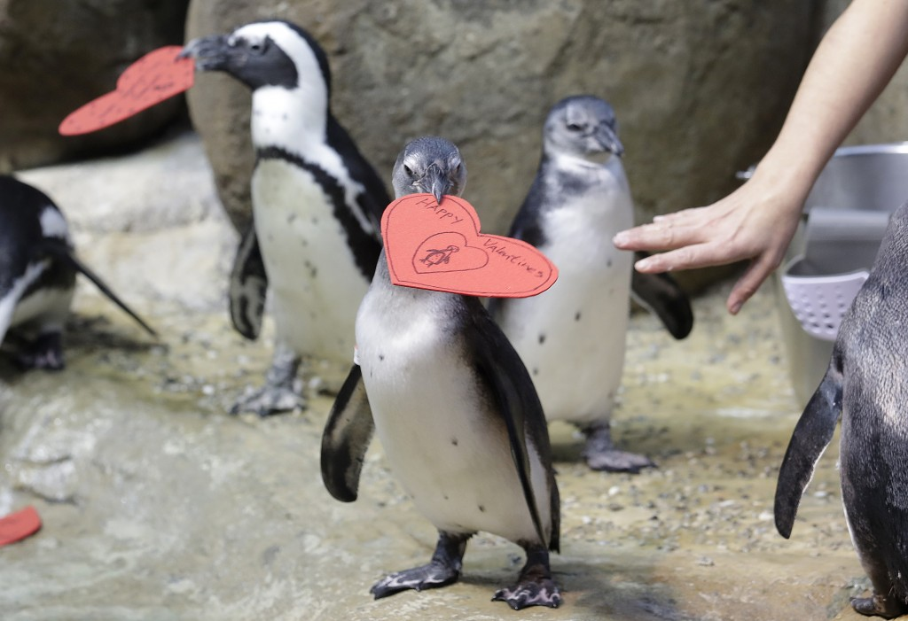 Aquarium biologist Piper Dwight hands out heart shaped valentines to African penguins at the California Academy of Sciences in San Francisco, Tuesday,