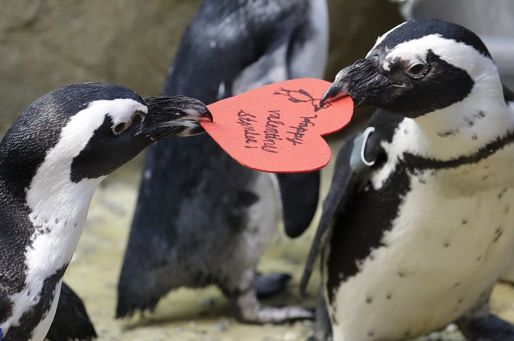 African penguins compete for a heart shaped valentine handed out by aquarium biologist Piper Dwight at the California Academy of Sciences in San Franc...
