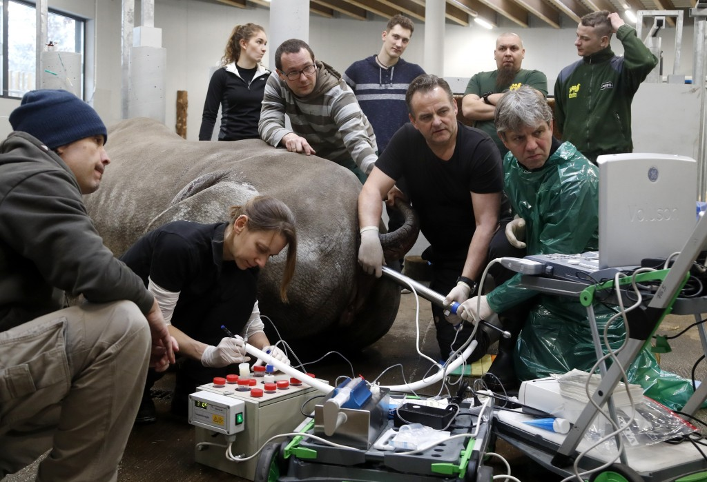 Team of experts led by Thomas Hildebrandt, right down, of the Leibniz Institute for Zoo and Wildlife Research in Berlin, harvests eggs from female sou...