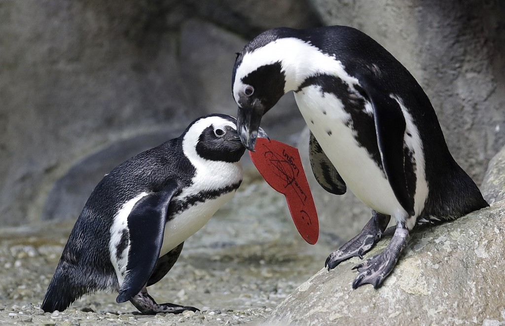 An African penguin carries a heart shaped valentine handed out by aquarium biologist Piper Dwight to its nest at the California Academy of Sciences in