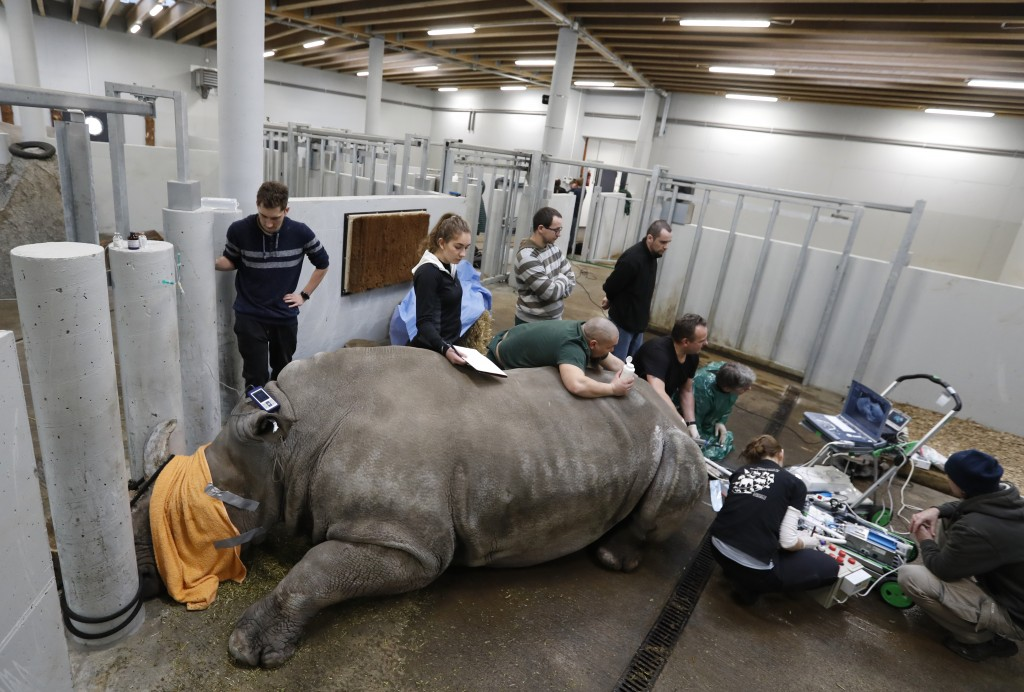 Team of experts harvests eggs from female southern white rhino, 17-year-old Hope, at a zoo park in Chorzow, Poland, Wednesday, Feb. 13, 2019. (AP Phot...