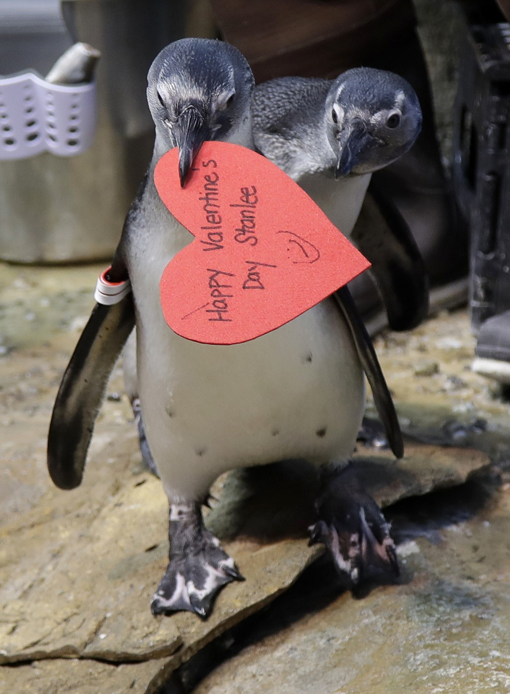 An African penguin walks away with a heart shaped valentine handed out by aquarium biologist Piper Dwight at the California Academy of Sciences in San