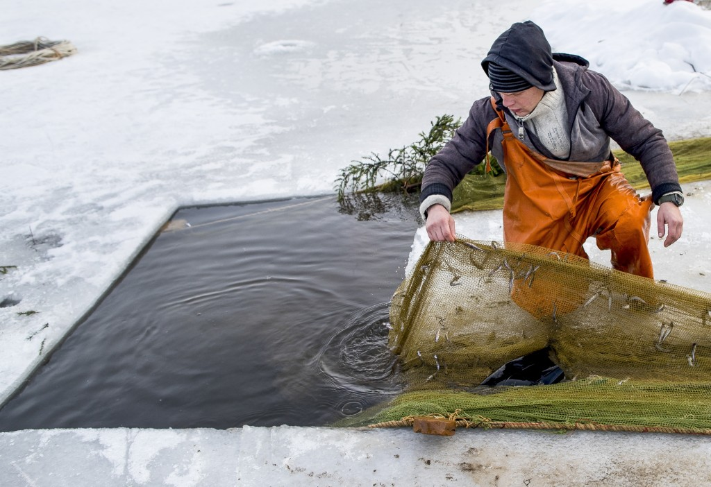 In this photo taken on Saturday, Feb. 9, 2019, a fisherman checks a net during a traditional winter smelt fish festival on Lusiai lake some 120 kilome...