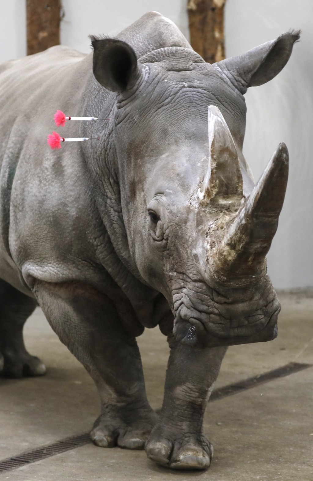 Female southern white rhino, 17-year-old Hope, is shot with tranquilizing darts, so a team of experts can harvest its eggs, at a zoo park in Chorzow, ...