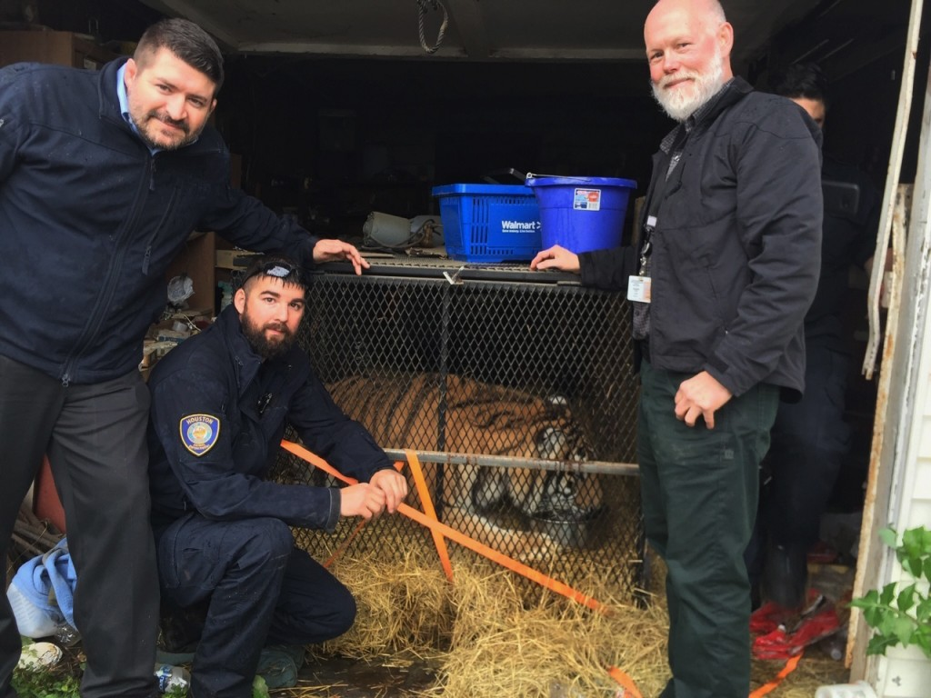 This undated photo shows a tiger in Houston. Houston police say some people who went into an abandoned home to smoke marijuana found a caged tiger. Th...