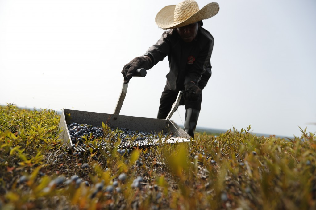 FILE- In this Aug. 24, 2018, file photo, a worker rakes wild blueberries at a farm in Union, Maine. On Thursday, Feb. 14, 2019, the Labor Department r...